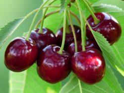 Süßkirschen - Prunus subg. Cerasus