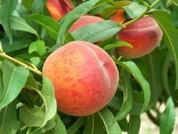 Pfirsich - Prunus persica