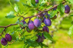 Pflaumen und Zwetschken - Prunus domestica